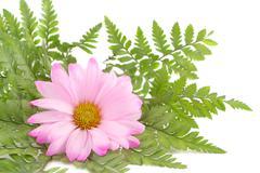 pink daisy - stock photo