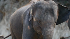 Close-up of a Cute Elephant Stock Footage