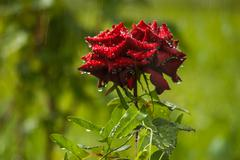 Stock Photo of red rose close up