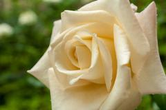 Stock Photo of white rose