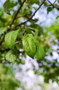 green leaf on apple tree - stock photo