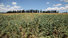 Chickpea field beans on the pod Stock Footage
