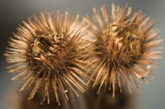 Arctium lappa Stock Photos