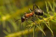 Ant - Formica rufa Stock Photos