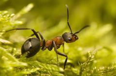 Ant - Formica rufa Stock Photos
