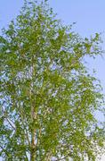 Lush foliage of summer birch. nature backgrounds Stock Photos