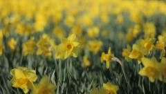 Yellow Trumpet Narcissus Daffodils Trembling in the Wind - 25FPS PAL Stock Footage