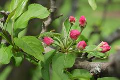 Close-up pink apple tree buds on leafy branch Stock Photos