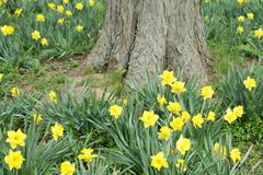 Yellow daffodil flowers at the base of a tree Stock Photos