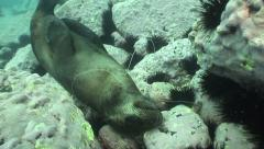 An Australian Fur Seal dead from Illegal fishing line #8-27b - stock footage