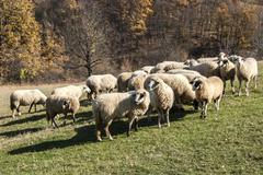 Herd of sheep on mountain pasture Stock Photos