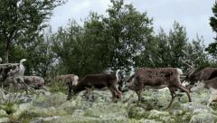 Herd of Caribou Reindeer Passing By - 25FPS PAL Stock Footage