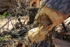 After the beaver bite Stock Photos