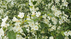 Blossoming apple tree in springtime Stock Footage