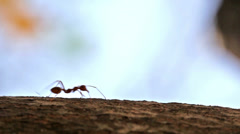 Macro shot of ant activity - stock footage