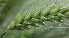 Green wheat ear kernels, field, cereal grain, cereal plant, harvest, macro - stock footage