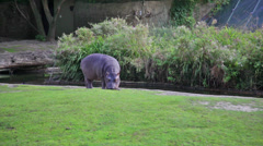 Hippopotamus in the zoo cage Stock Footage