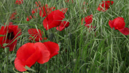 Stock Video Footage of Beautiful red poppy field and bees, pollination, summer flowers in the wind