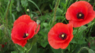 Stock Video Footage of Four red poppy flowers in the garden, bees gathering pollen