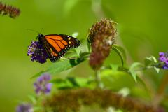 green meadows with monarch butterfly on the plant. - stock photo