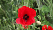 Stock Video Footage of Bee gathering pollen from a red poppy flower, field, wind, summer day