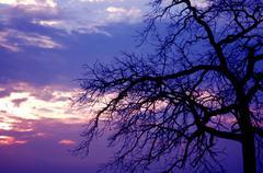 creepy tree and pinky sunset. - stock photo