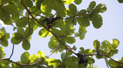 Elaxed flying foxes sleeping on the tree during day Stock Footage