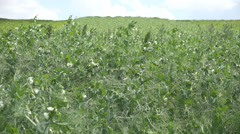 Pea field green vegetable cultivation food vegan sky rural industry agriculture  Stock Footage