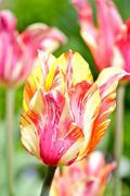 blossom tulips closeup. pinky-yellow blossom tulips - stock photo