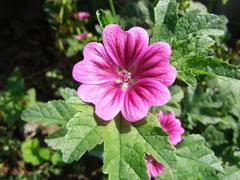 Malva flower Stock Photos