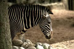 african zebra in the lincoln park zoo. - stock photo