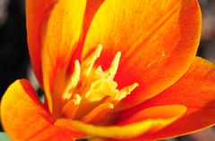 Stock Photo of orange spring flower. spring in the botanic garden.