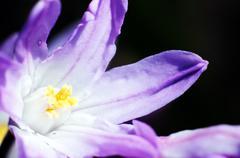 unknown violet flower - stock photo