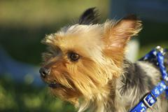 Australian silky terrier in park Stock Photos