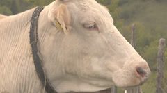 Closeup up domestic cow head detail muzzle mountain meadow looking stare camera Stock Footage