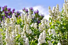 White blossom syringa and violet syringa Stock Photos