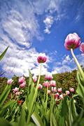 pinky tulips wide angle photography - stock photo