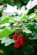 Red currant berries on a branch Stock Photos