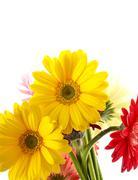Yellow gerberas. gerber flower. Stock Photos