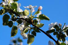 branch blossoming apple-tree against the blue sky - stock photo