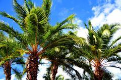 florida palms on the summer sky. - stock photo