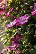 purple clematis closeup - stock photo