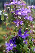 Violet clematis closeup Stock Photos