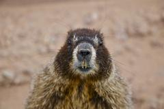 yellow bellied marmot (whistle pig) - stock photo