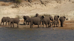 Tracking past herd of African elephants drinking from the river Stock Footage