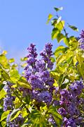 lilac - syringa flowers. syringa vulgaris shrub in flower - stock photo