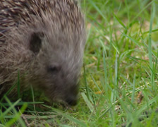 European Hedgehog, Erinaceus europaeus, foraging - close up Stock Footage