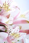 white-pinky alstroemeria flowers - macro photo - stock photo