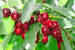 Tasty sweet cherry berry in lush leafage Stock Photos