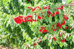 cherry berry tree in orchard - stock photo